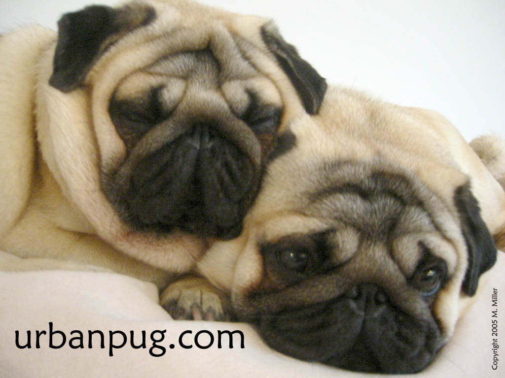 Puppy World  Puppy Pug Pictures